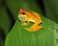 Grenouille, grenouille d'arbre jaune de sablier, Costa Rica Images libres de droits