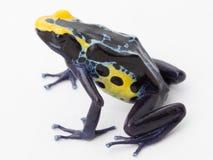 Grenouille jaune bleue de poison Photo libre de droits