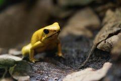 Grenouille jaune de poison Images libres de droits