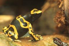 grenouille Jaune-réunie de dard de poison photos stock