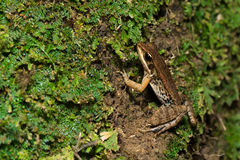 grenouille Large-pliée Photo stock
