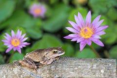 Grenouille, leucomystax de Polypedates sur le bois de construction dans l'étang de lotus Image libre de droits