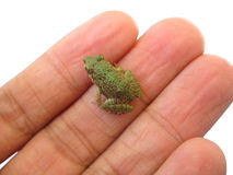 Grenouille minuscule photographie stock