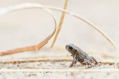Grenouille minuscule sur le sable photos stock