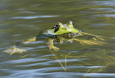 Grenouille mugissante Photo stock