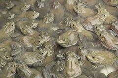 Grenouille mugissante américaine dans la ferme de grenouille Image libre de droits