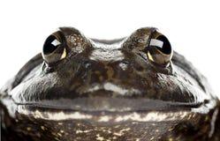 Grenouille mugissante américaine ou grenouille mugissante, catesbeiana de Rana Photographie stock libre de droits
