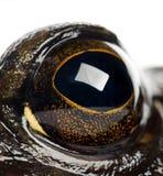 Grenouille mugissante américaine ou grenouille mugissante, catesbeiana de Rana Photo libre de droits