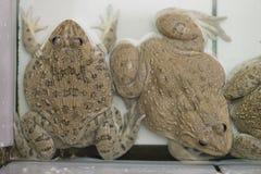 Grenouille mugissante asiatique est dans la ferme de grenouille Images stock