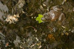 Grenouille mugissante camouflée dans la boue d'étang Images libres de droits