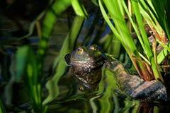 Grenouille mugissante dans la piscine se reflétante Image libre de droits
