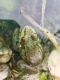 Grenouille mugissante dans un étang Images stock