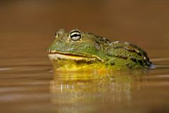 Grenouille mugissante géante africaine Image stock