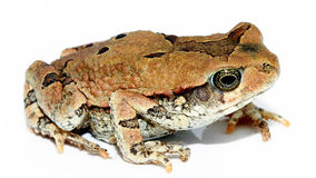 Grenouille mugissante naine image stock