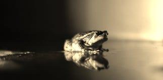 Grenouille noire et blanche Photo libre de droits