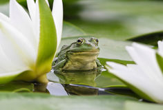 Grenouille parmi les lis blancs Photos libres de droits