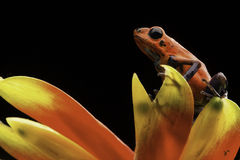 Grenouille rouge Costa Rica de dard de poison de fraise Photographie stock libre de droits