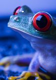 Grenouille rouge d'oeil Image stock
