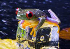 Grenouille rouge d'oeil Photographie stock