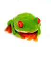 Grenouille rouge d'oeil Photos libres de droits