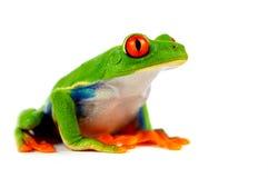Grenouille rouge d'oeil Photographie stock libre de droits