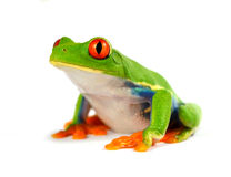 Grenouille rouge d'oeil Images stock