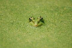 Grenouille sans joint dans l'étang vert Images stock