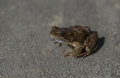 Grenouille se reposant sur le trottoir photos stock