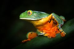 Grenouille splendide de feuille photo stock