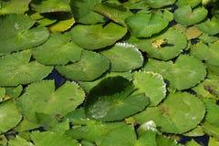 Grenouille sur de l'eau des lames lilly Image stock