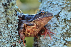 Grenouille sur l'arbre Photos stock