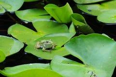 Grenouille sur la feuille de Lotus Photo stock