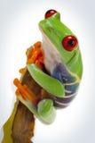 Grenouille sur le bambou Images stock