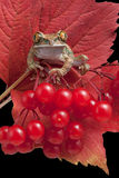 Grenouille sur les baies rouges Photo libre de droits