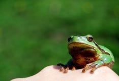 Grenouille sur ma main Photographie stock libre de droits