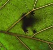 grenouille sur une lame verte Image libre de droits