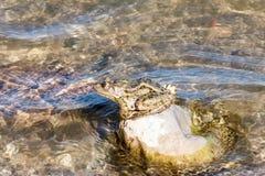 Grenouille sur une roche Photographie stock libre de droits