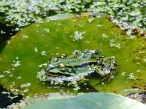 Grenouille sur waterlily la feuille dans un étang Photos libres de droits