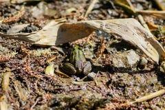 grenouille, grenouille trapue, grenouille d'arbre, grenouille sur les feuilles, photographie stock