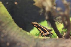grenouille Trois-rayée de poison photographie stock libre de droits