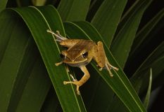 Grenouille tropicale Photographie stock libre de droits