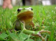 Grenouille verte Photographie stock libre de droits