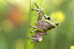 Grenouille verte Photo stock