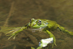 Grenouille verte Images libres de droits