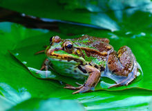 Grenouille verte images stock