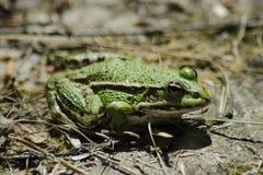 Grenouille verte Photographie stock