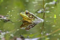 Grenouille verte (clamitans de Rana) dans un étang Photo stock