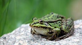 Grenouille verte d'étang Photos libres de droits