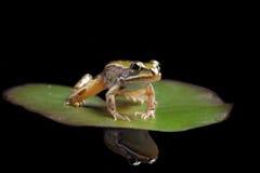 Grenouille verte d'étang sur la réflexion de lame de lis d'eau Image stock