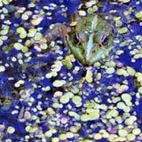 Grenouille verte dans le lac, photographe de observation Images stock